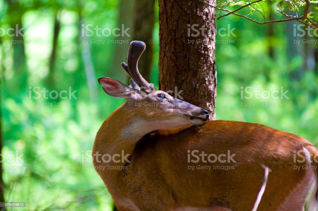 Cervo in velluto foto stock royalty-free
