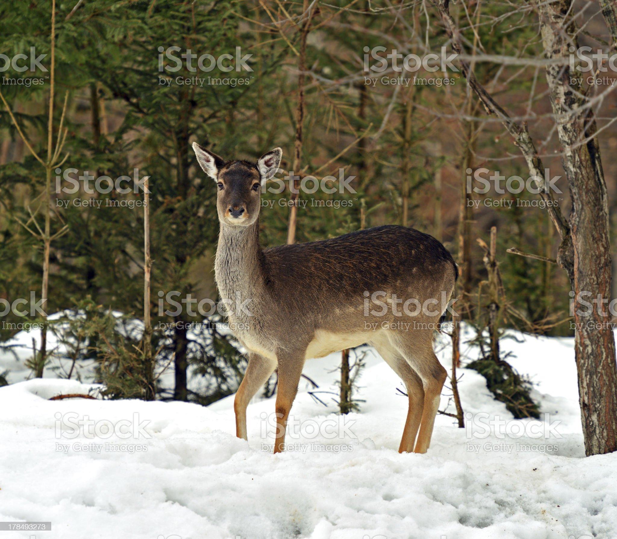 Deer in winter royalty-free stock photo