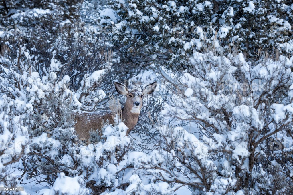 Deer In Winter With Snow stock photo