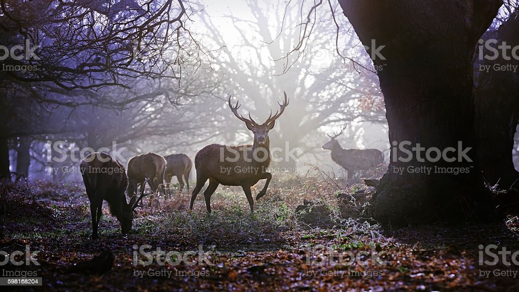 Deer in woodland on an autumn morning stock photo