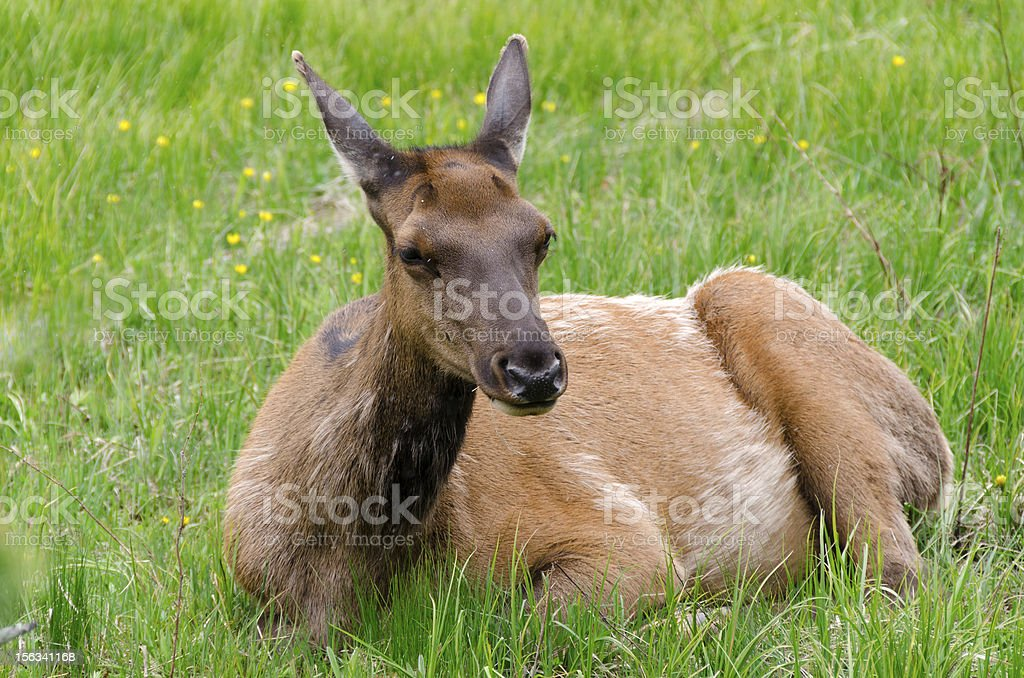 deer in Yellowstone royalty-free stock photo