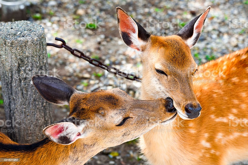 Deer Kissing in Nara stock photo