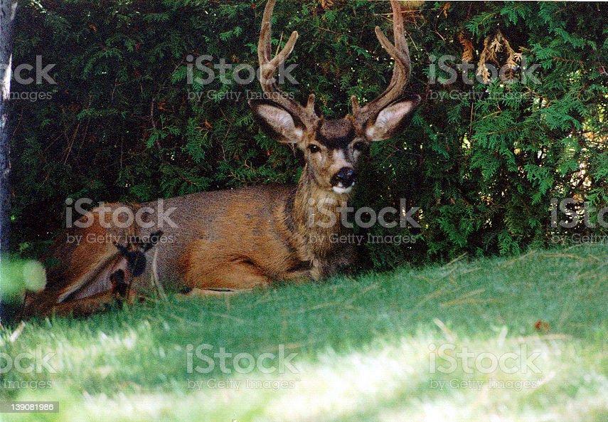 Deer - looking at the camera royalty-free stock photo