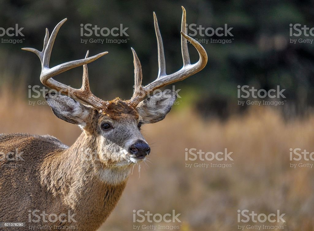 Deer looking for who's coming in Quebec, Canada. stock photo