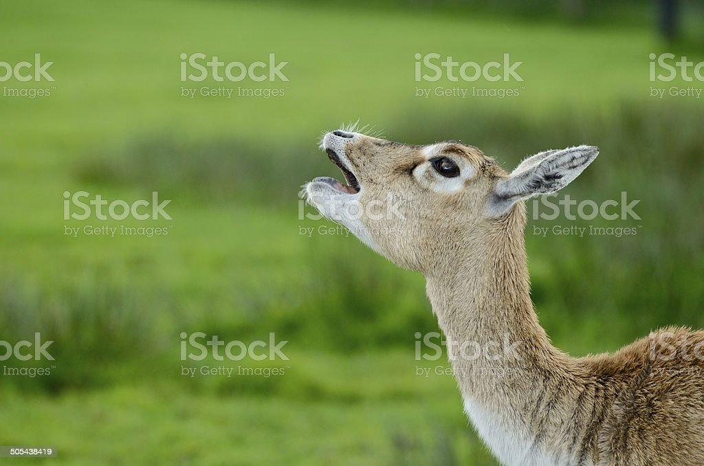 Deer making noise stock photo