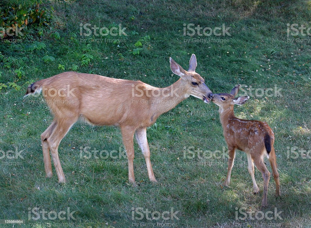 Deer Mother and Child Re-union royalty-free stock photo