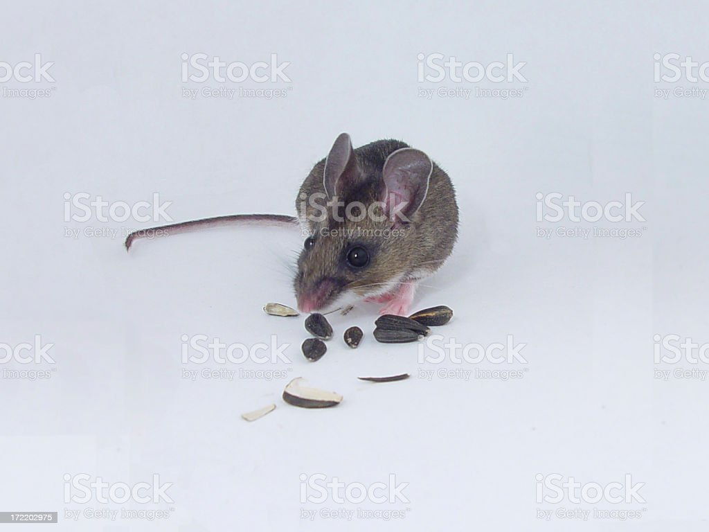 Deer Mouse royalty-free stock photo