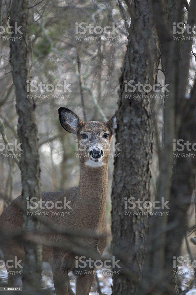 Deer on alert stock photo