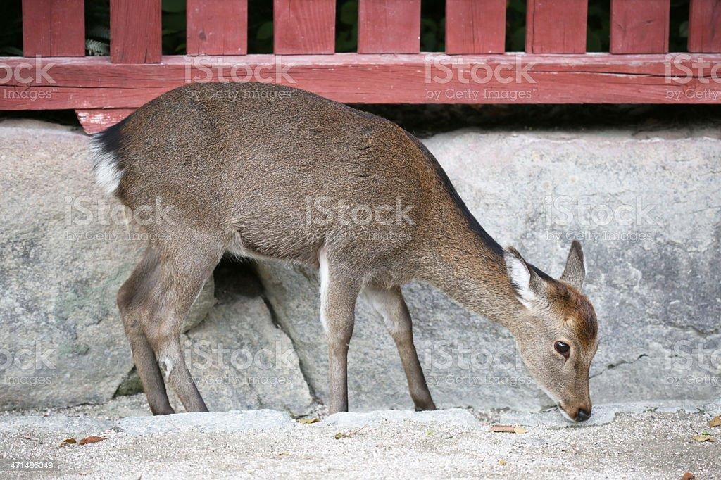 Deer on Miyajima Island, Itsukushima, Hiroshima Prefecture, Japan royalty-free stock photo