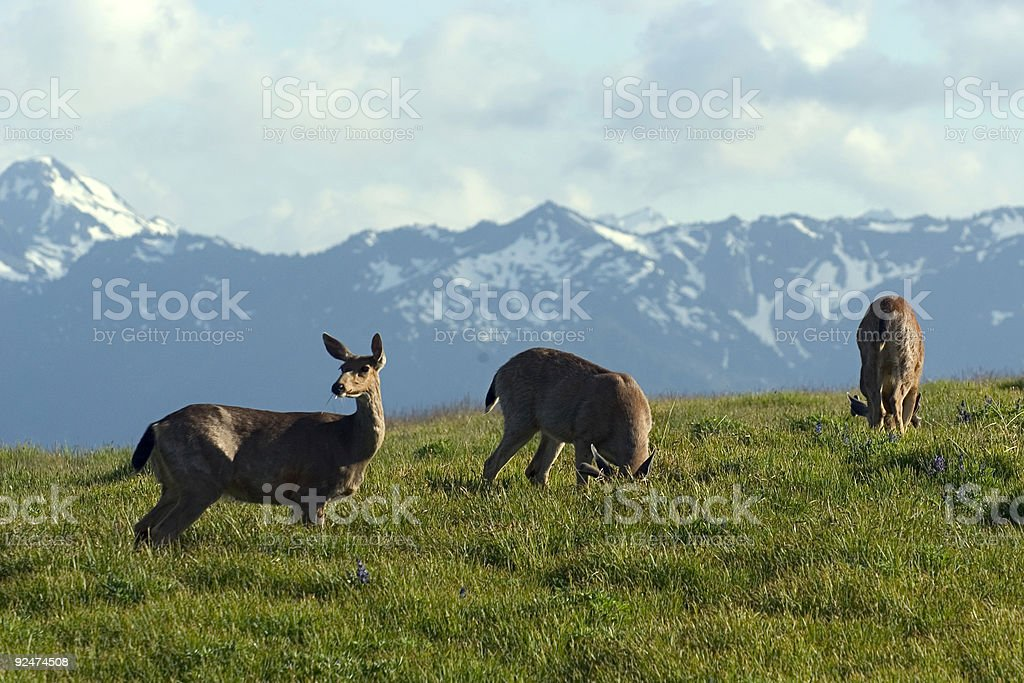 Deer pasture royalty-free stock photo