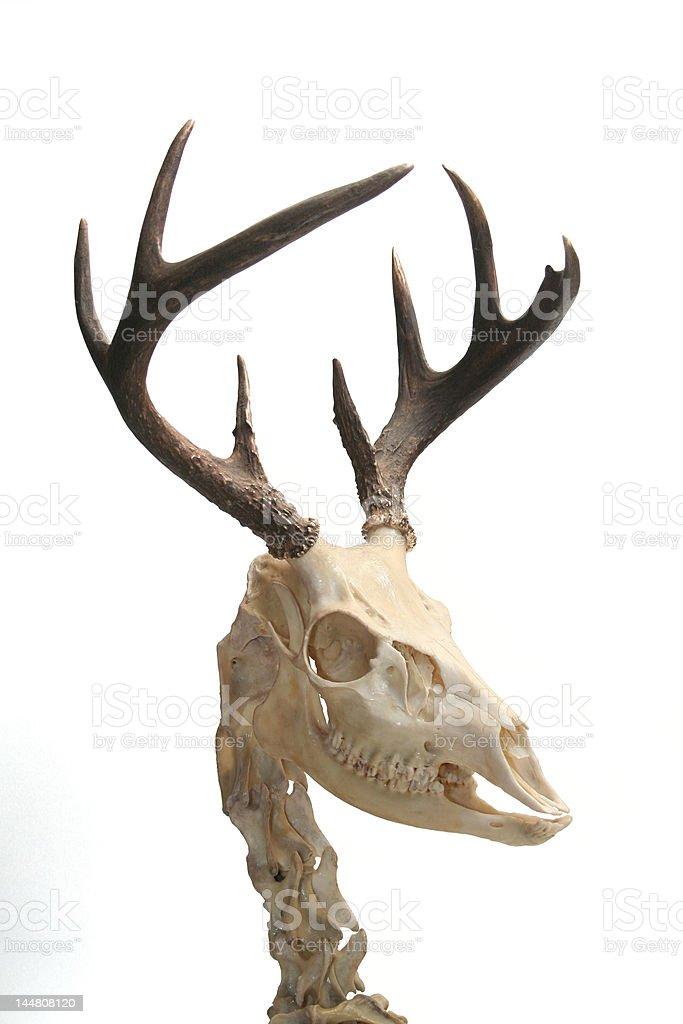 Deer. royalty-free stock photo