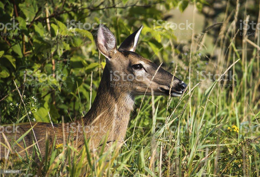 Deer stock photo