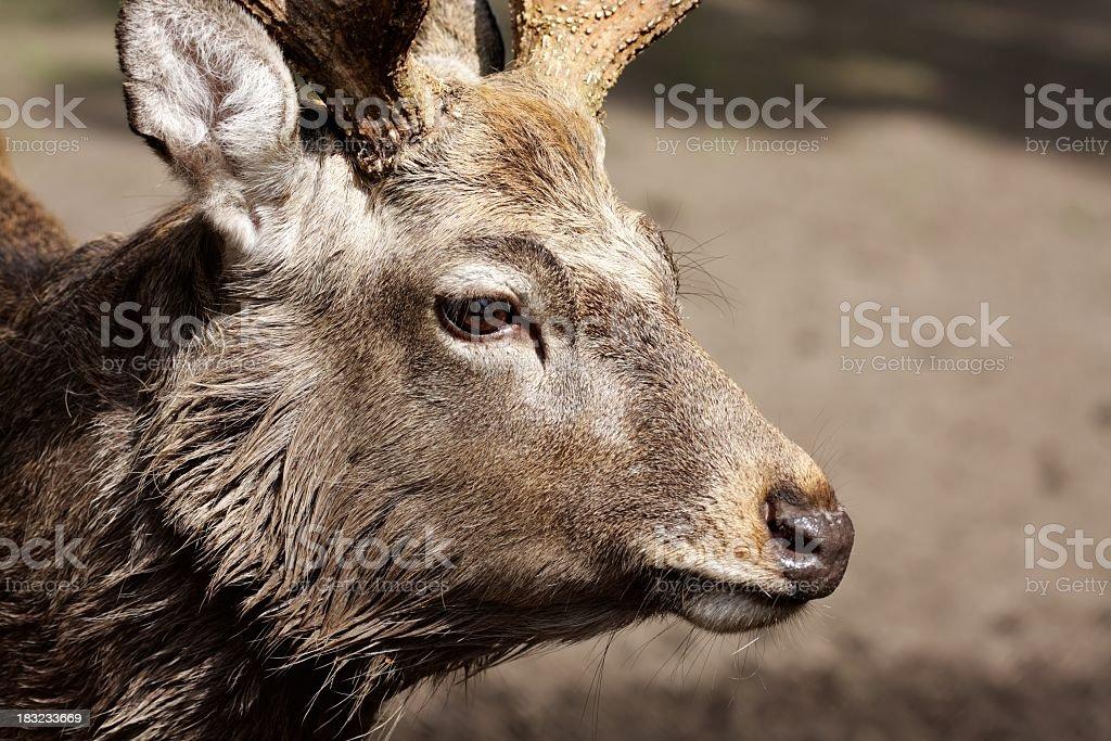 Deer Lizenzfreies stock-foto