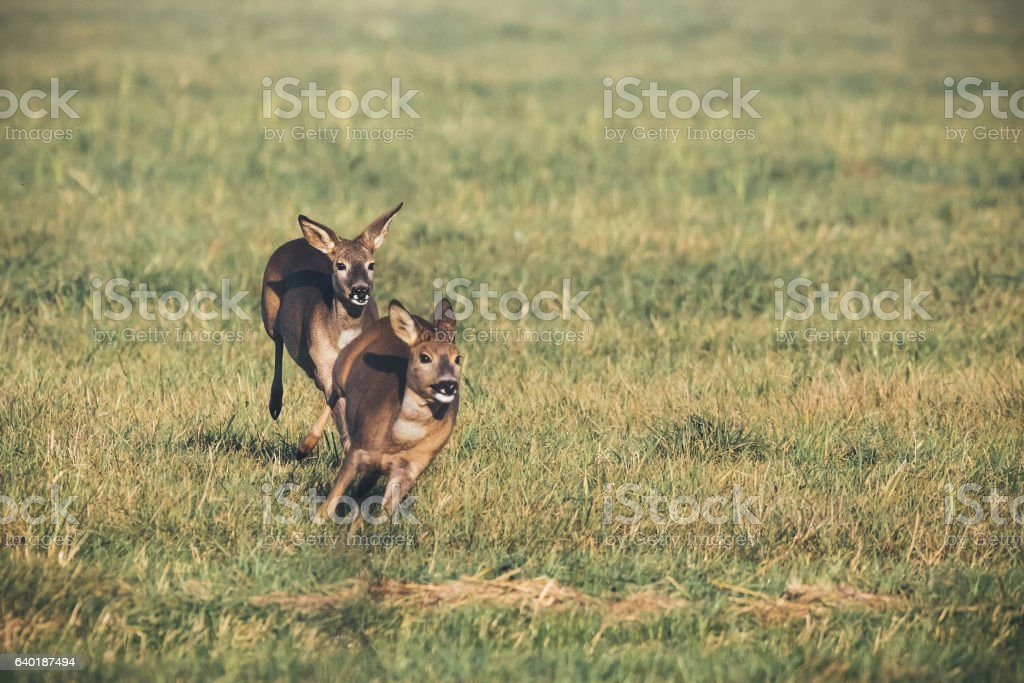 Deer play together in the meadow stock photo