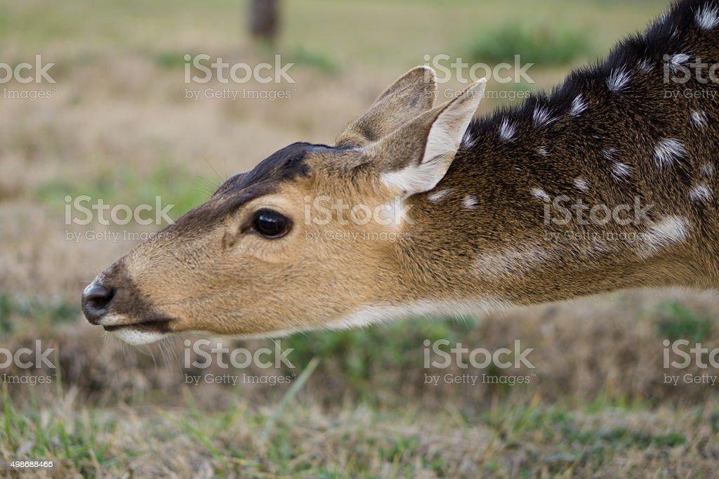 Deer Profile Perfil de ciervo stock photo