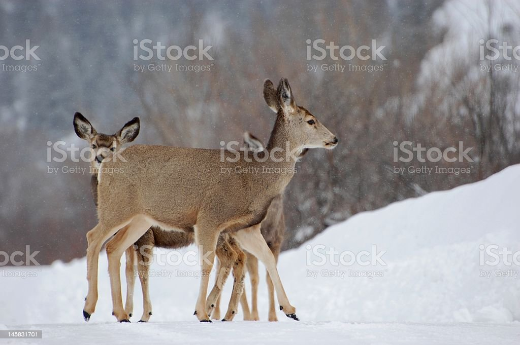 Deer Protecting Fawns royalty-free stock photo