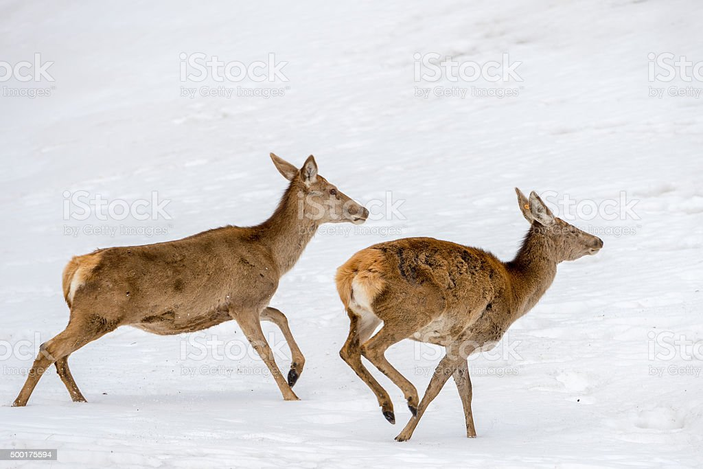 deer running on the snow in christmas time stock photo