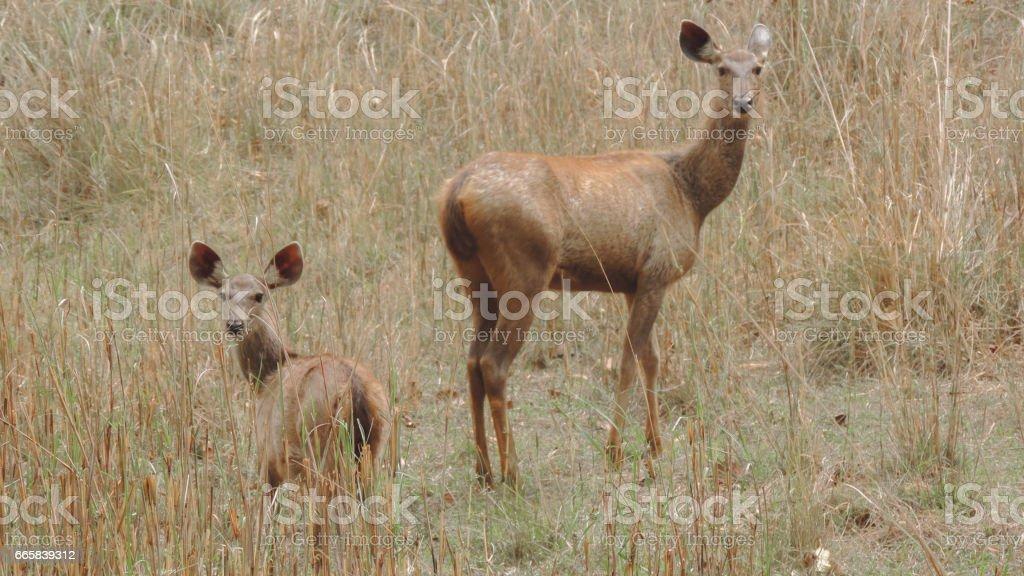 Deer sambar stock photo