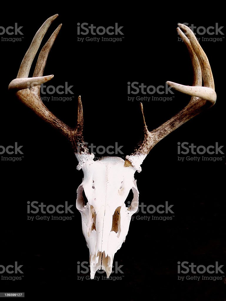 Deer Skull royalty-free stock photo