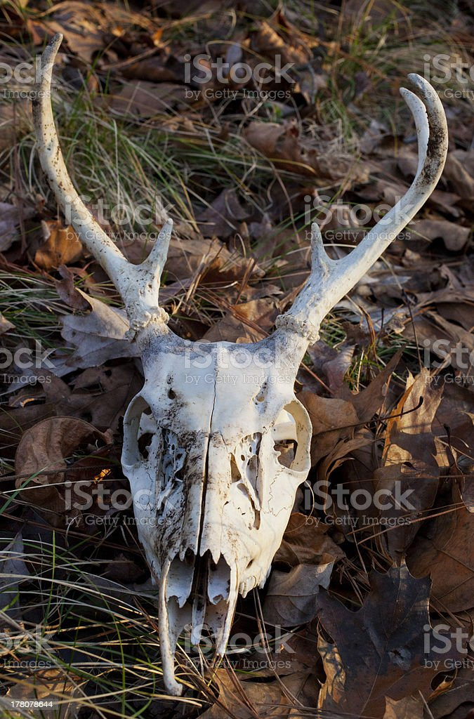 Deer Skull royalty-free stock photo