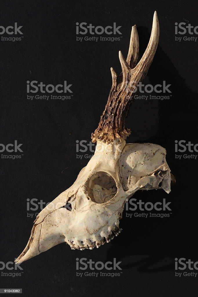deer skull, side view royalty-free stock photo