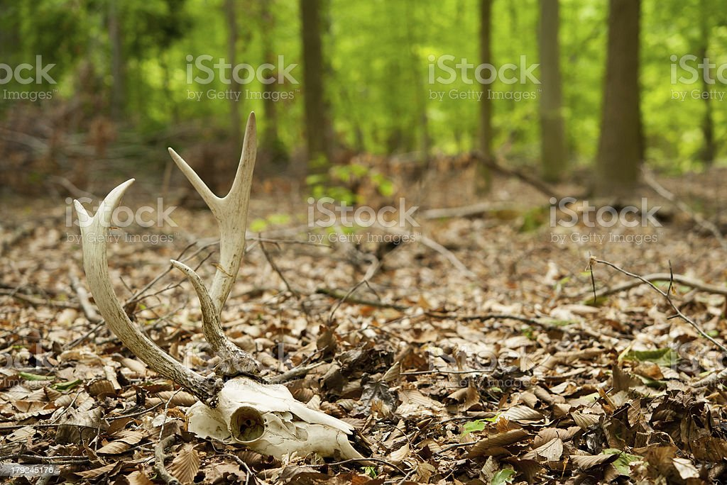 deer skull with antlers in the forest royalty-free stock photo