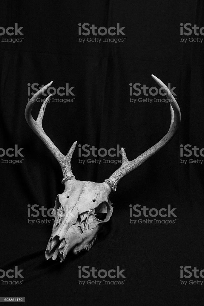 Deer Skull with Antlers stock photo