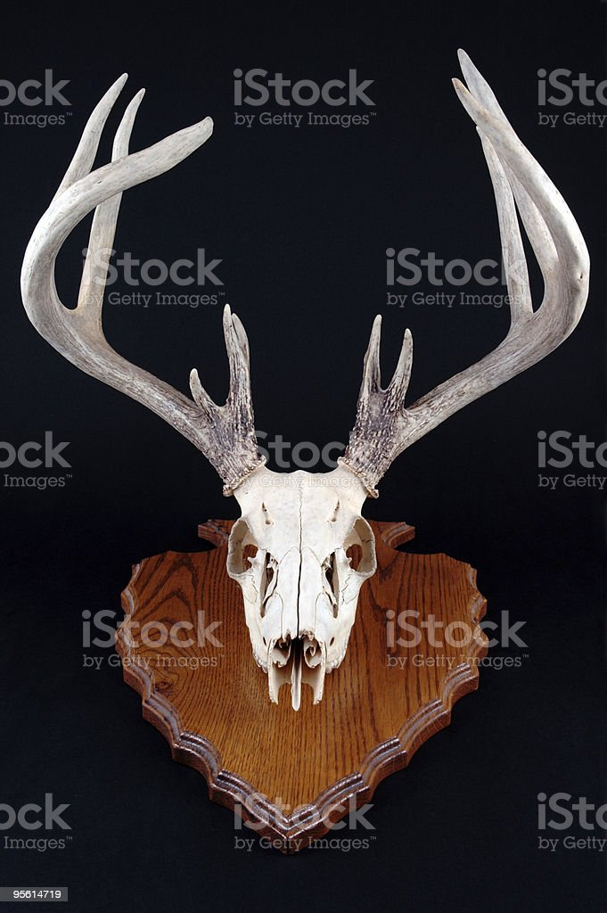 Deer Skull with rack on arrowhead mount royalty-free stock photo