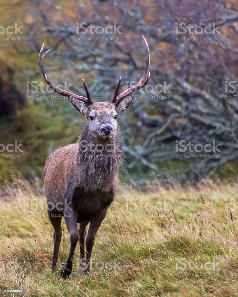 Deer Stalking 2 stock photo