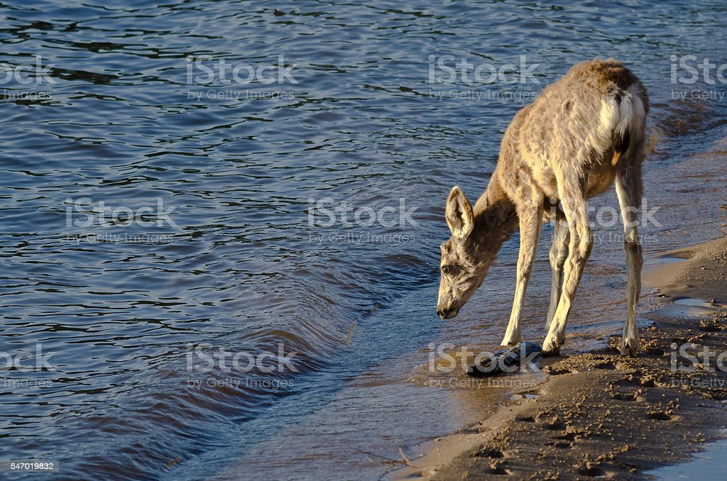 Deer Taking a Drink at the Water's Edge stock photo
