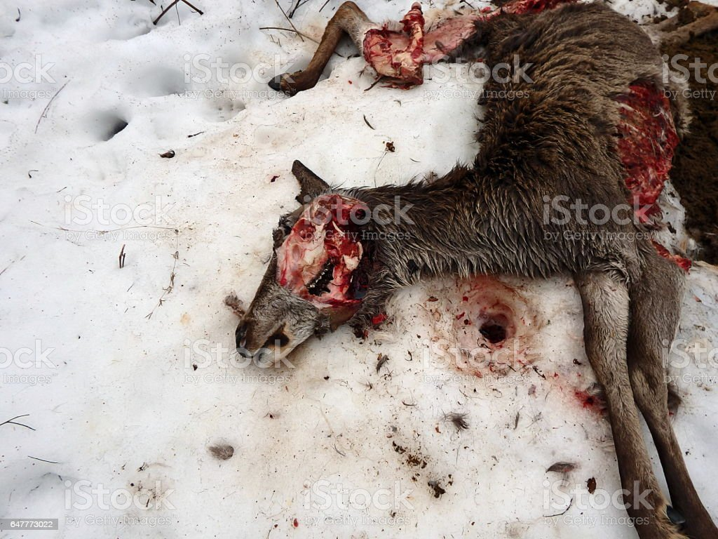 deer torn wolves, stock photo
