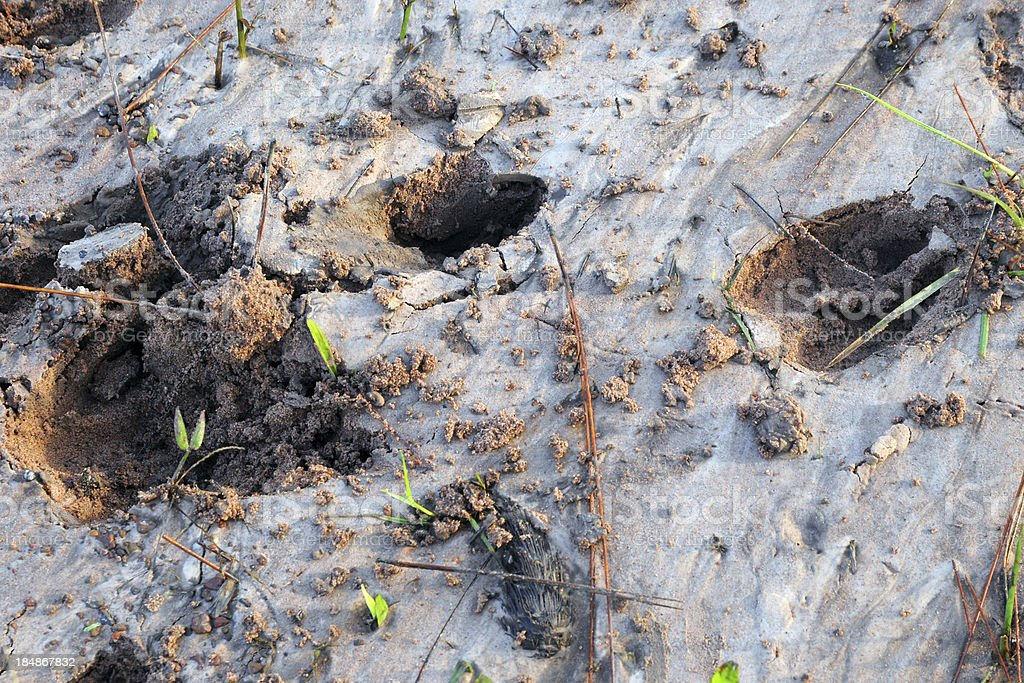 Deer trail or animal foot step make track on sand royalty-free stock photo