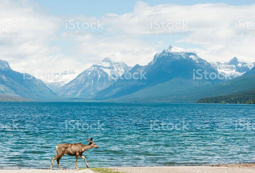 Deer Walkin by Scenic Lake McDonald Glacier National Park Montana stock photo