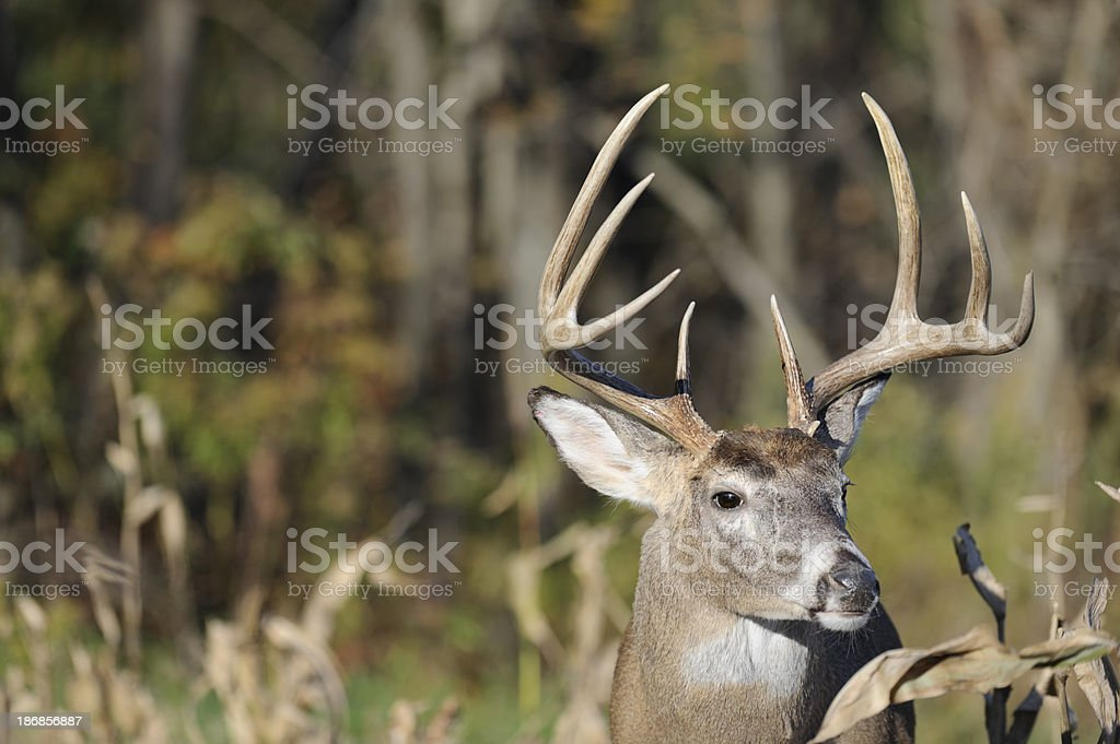 Deer with Antlers in Cornfield Head Shot, Trophy Buck stock photo