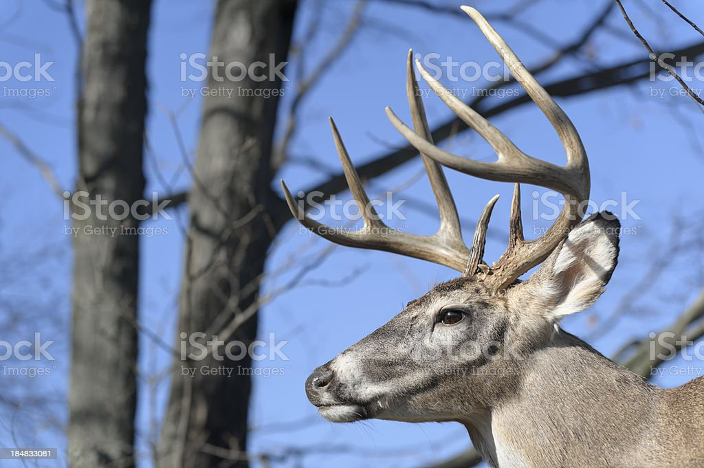 Deer with Antlers in Woods Head Shot, Trophy Buck stock photo