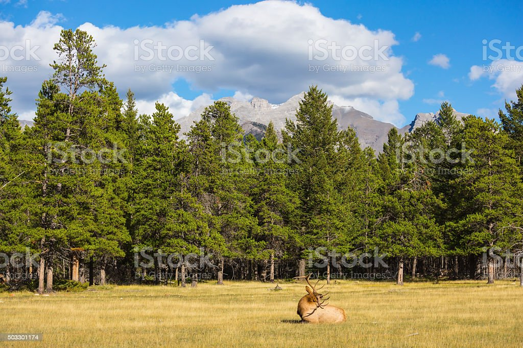 Deer with branchy horns lies in a grass stock photo
