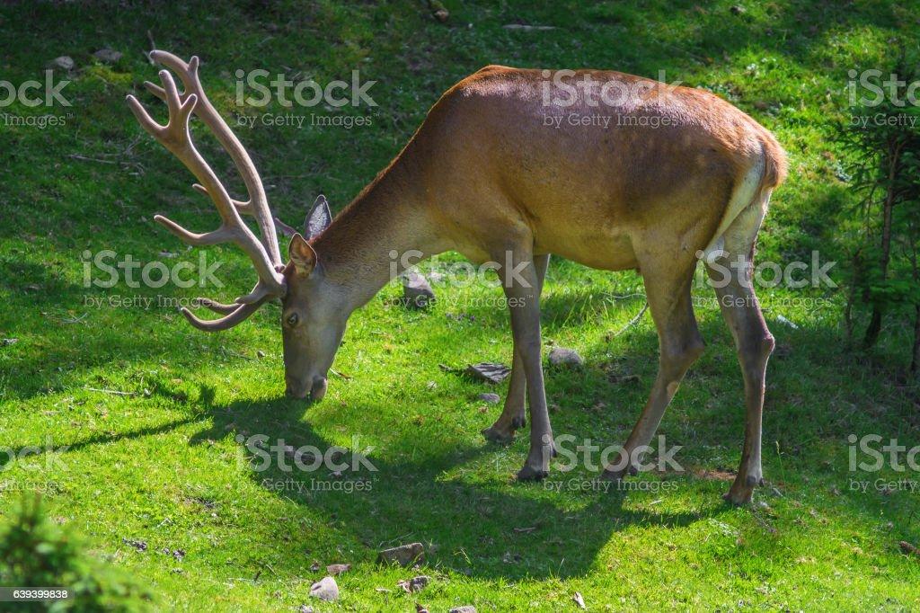 deer with  horns stock photo