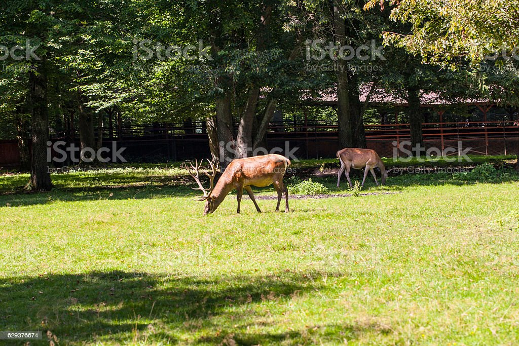 deer with magnificent antlers, Bialowieza National Park stock photo