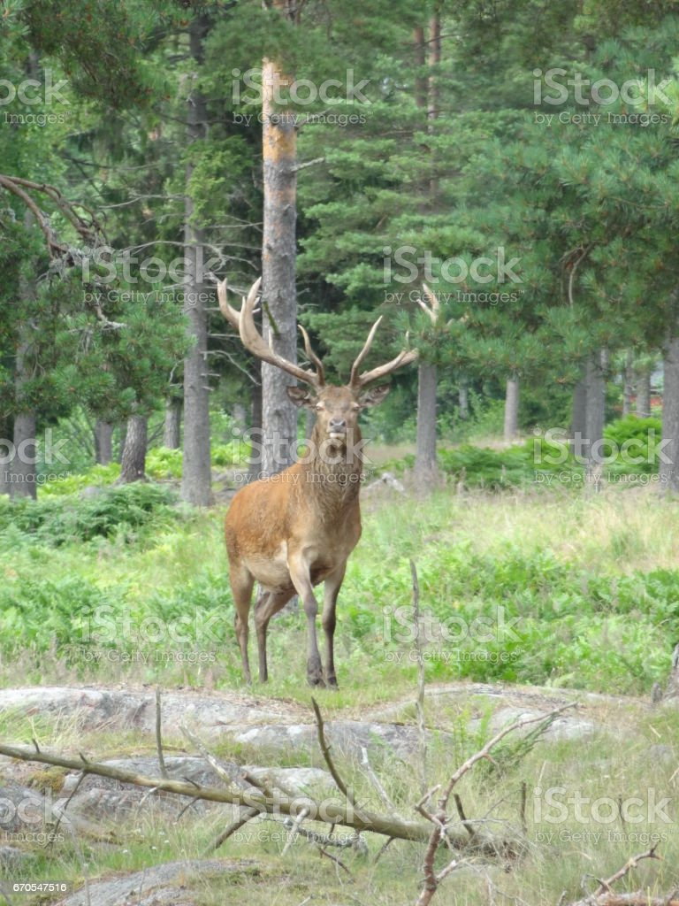 Deer with trees and forest looking directly into the camera in Aland in Finland stock photo