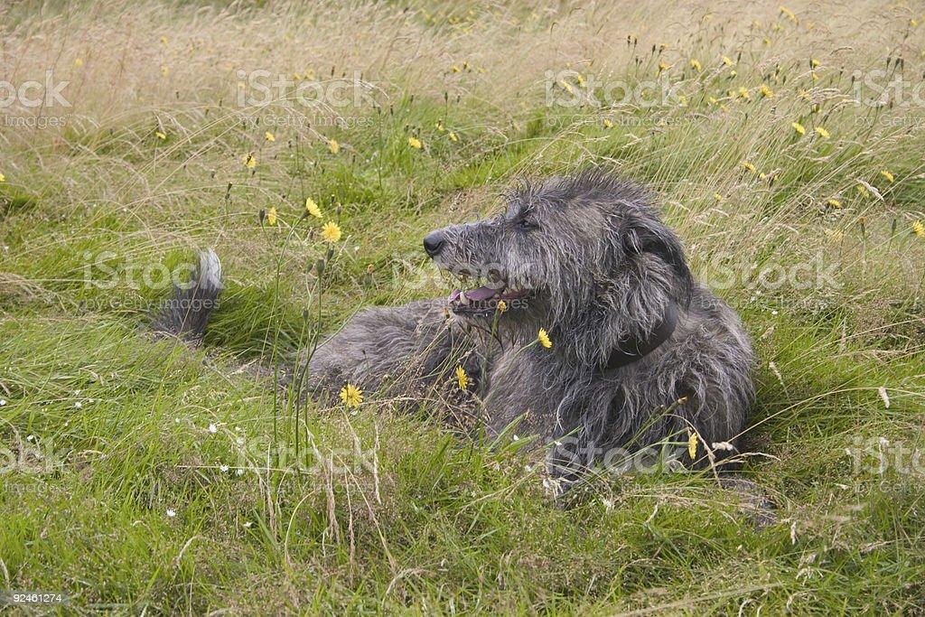 Deerhound photo libre de droits