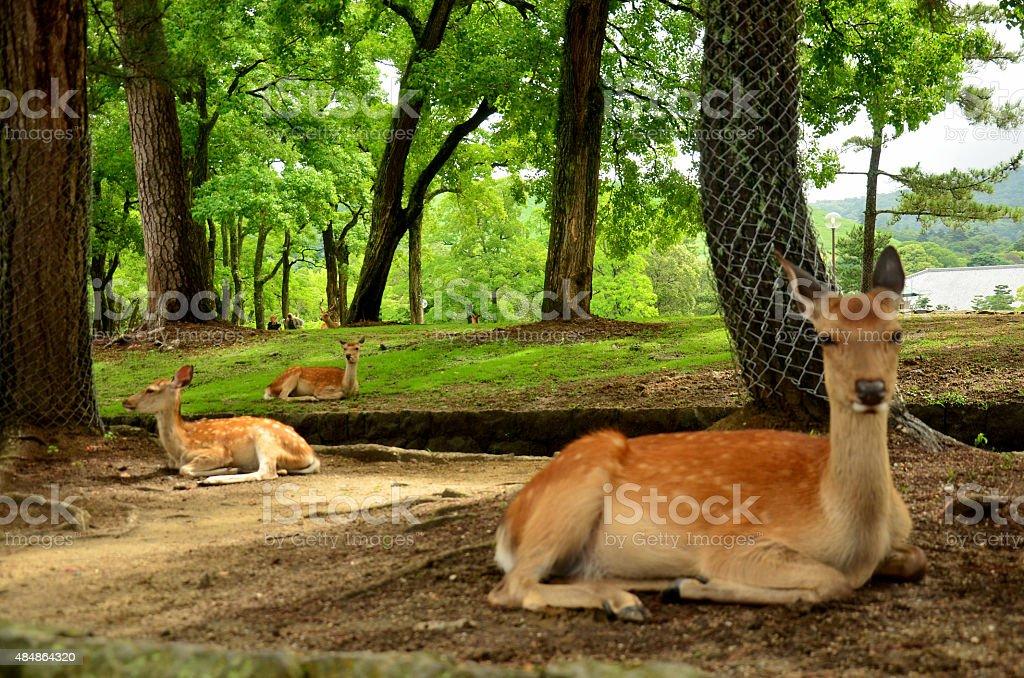 Deers at Todai-ji Temple stock photo