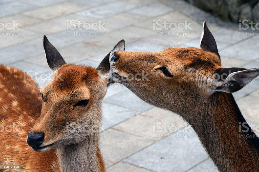 Deers in Nara, Japan stock photo