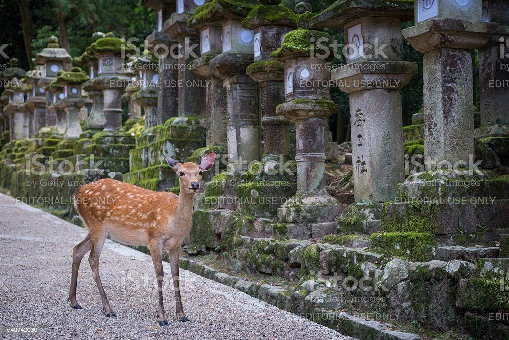 Deers in Nara Japan stock photo