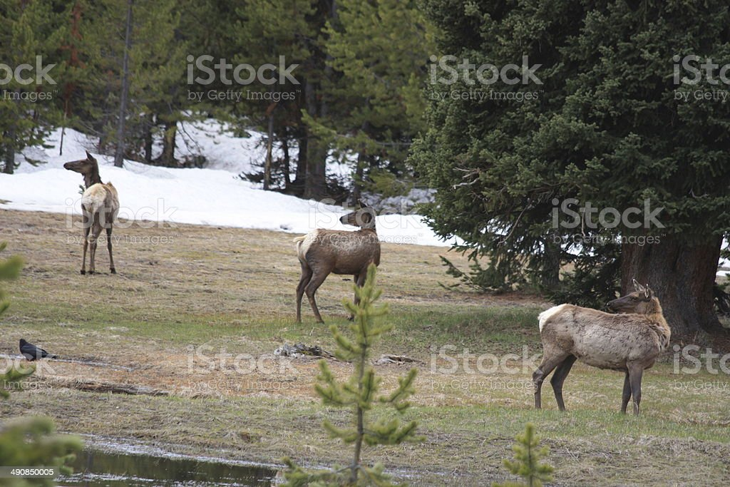 Deers in Yellowstone National park royalty-free stock photo