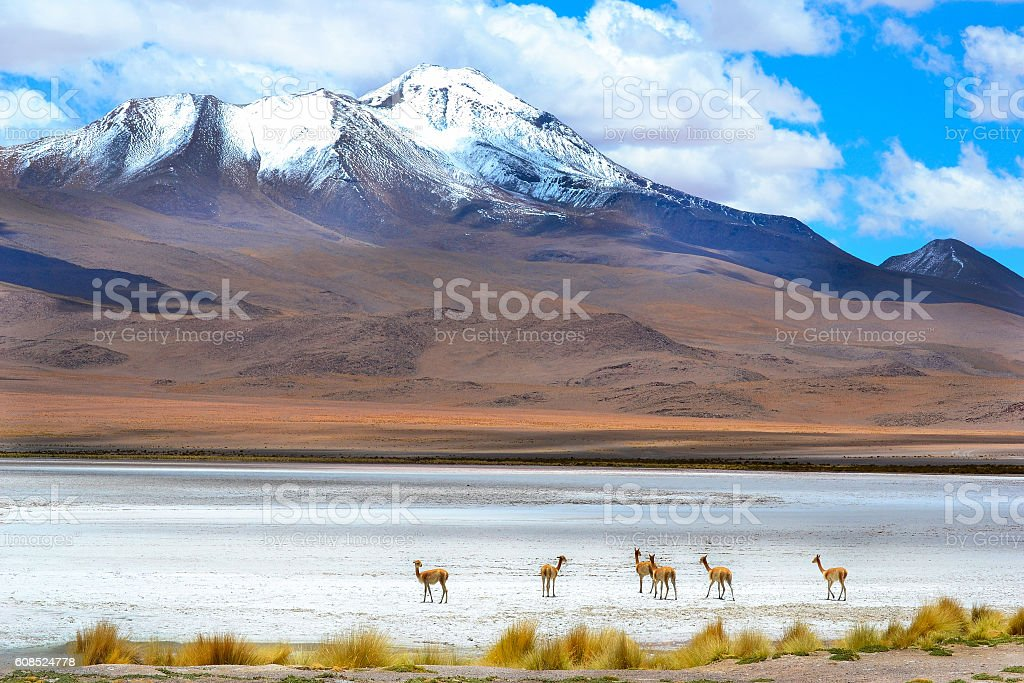 Deers on the clear lake in bolivia stock photo