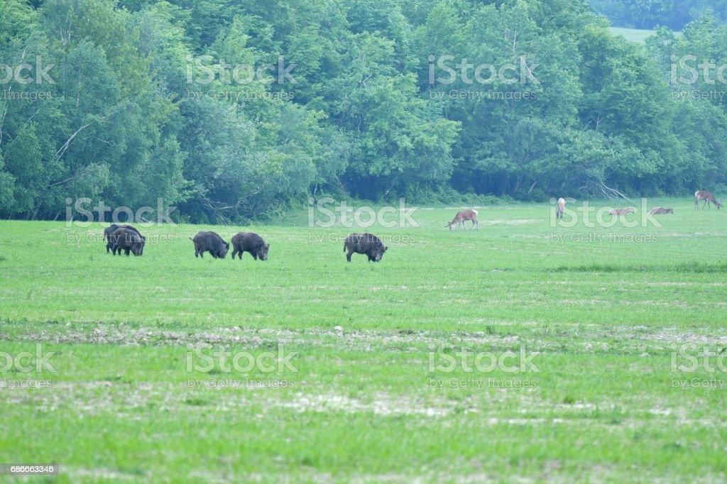 deers on the meadow stock photo