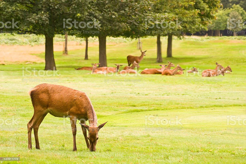 Deers royalty-free stock photo
