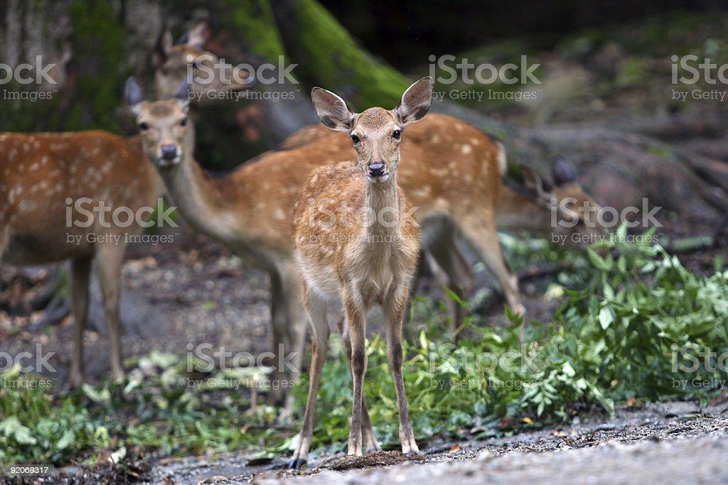 Deers royalty-free stock photo