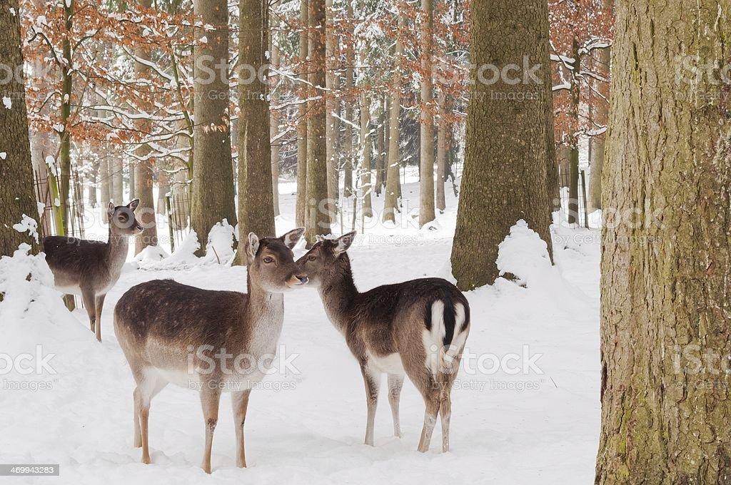 Deers stoi w lesie w zimie zbiór zdjęć royalty-free