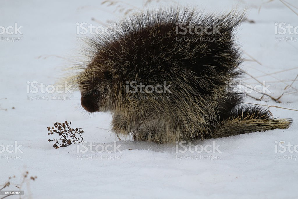Defensive Porcupine stock photo